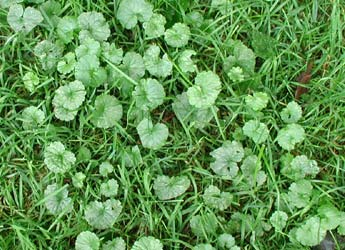 ground ivy, creeping charlie, 4 seasons services lawn care, norton ohio, 44203, weed control, lawn service, herbicide, fertilization