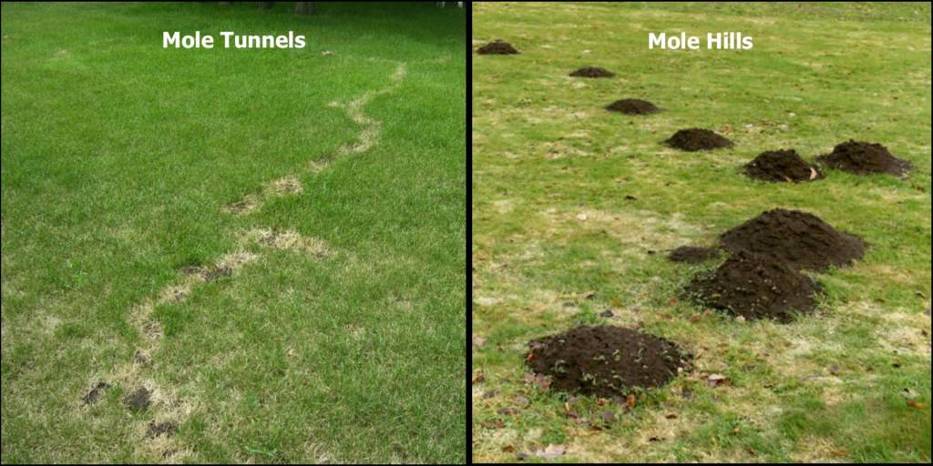 ohio lawn care, mole damage, mole applications, turf pest company, 4 seasons services